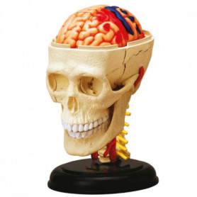 MGM - Explora - Anatomie crâne et cerveau - Expérience anatomie